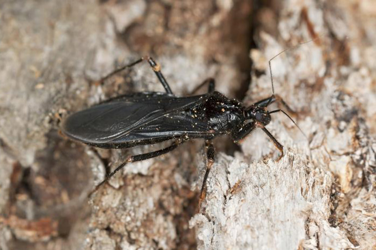 assassin-bug-facts-identifcation-featured-image