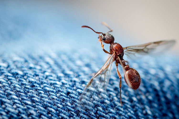 get-rid-of-flying-ants-featured-image