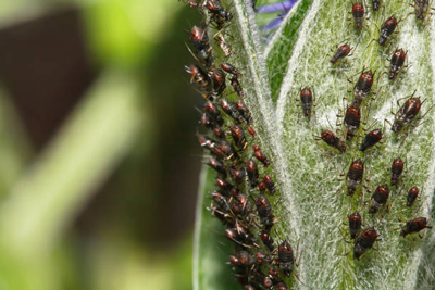 how to get rid chinch bugs bug infestation